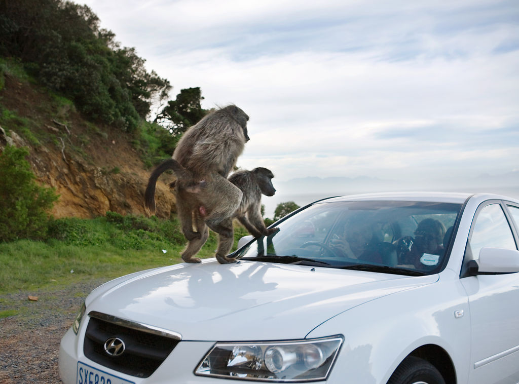 Baboons Mating on Car